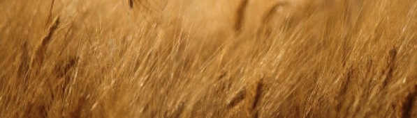 Shavout marks the beginning of the wheat harvest.